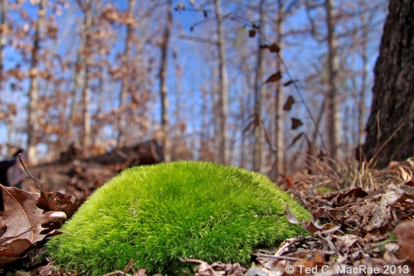 Leucobryum glaucum on forest floor | Reynolds Co., Missouri