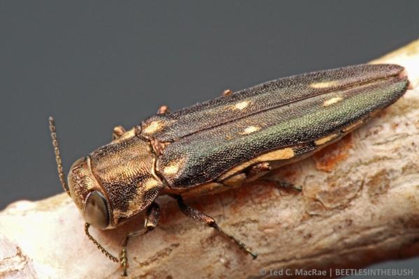Agrilus granulatus granulatus on Populus deltoides | Beaver Dunes, Oklahoma