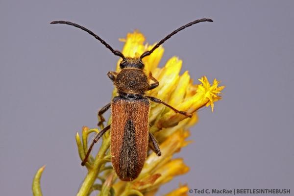 Crossidius hirtipes macswainei? (female) | 6.3 mi W of Wellington, Nevada.