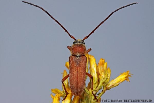 Crossidius hirtipes immaculipennis (male) | 6.3 mi W of Wellington, Nevada.