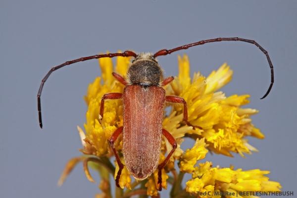 Crossidius hirtipes macswainei (male) | 19 mi S of Wellington, Nevada.