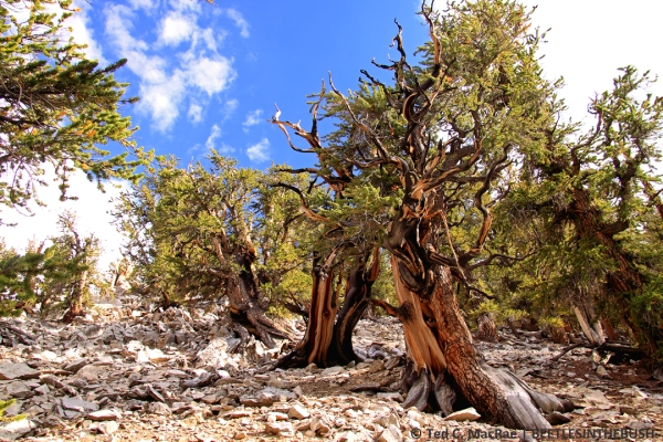 Bristlecone Pine Ancient Forest