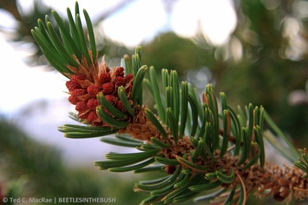 Pinus longaeva male catkins