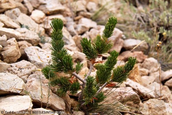 Pinus longaeva sapling