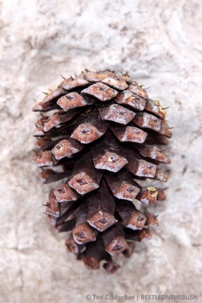 Pinus longaeva cone