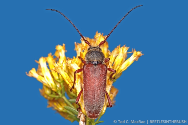 A handsome male rests on yellow rabbitbrush flowers (studio shot).
