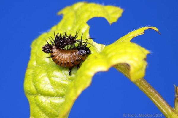 Undetermined cassidine larvae.