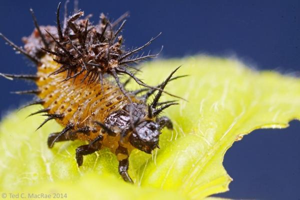 Undetermined cassidine larva.