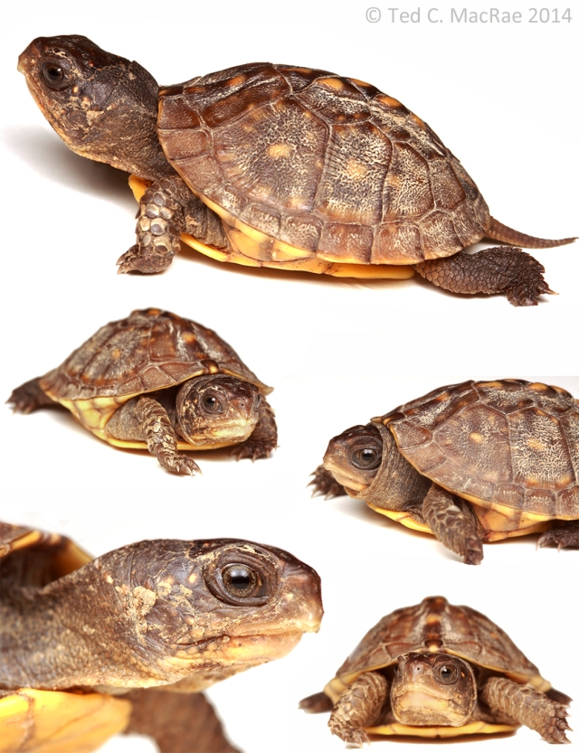 Box-turtle-collage_1080x1407
