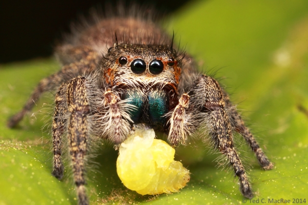 Phidippus princeps female | Howell Co., Missouri