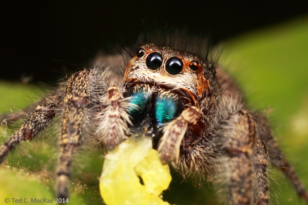 Check out those metallic blue chelicerae!