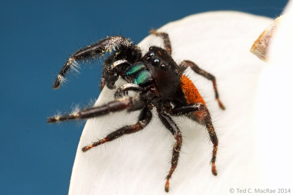 Phidippus pinceps, adult male | Howell Co., Missouri (studio shot).
