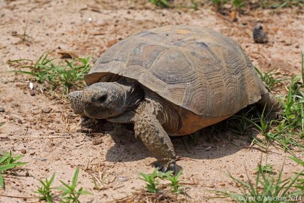 gopher tortoise (Gopherus polyphemus)