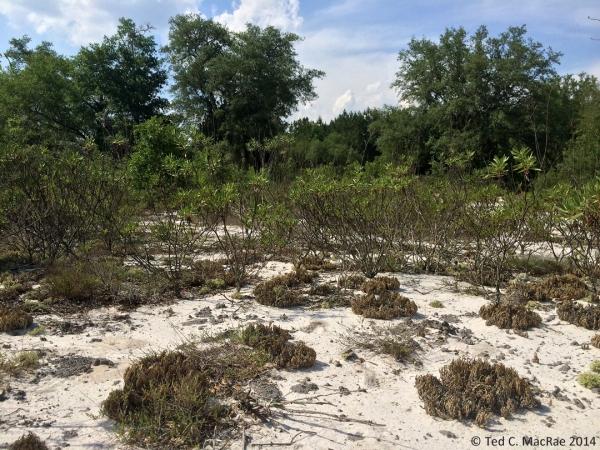 Sand scrub habitat | Emanuel Co., Georgia.