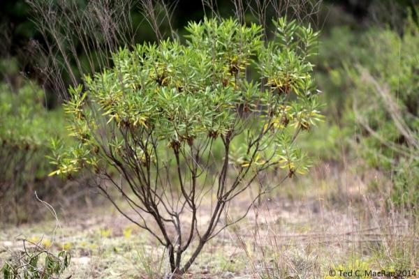 Chrysomoa pausiflosculosa