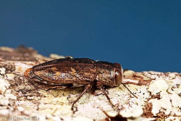 Chrysobothris seminole