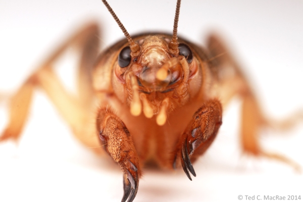 Who likes mole crickets?