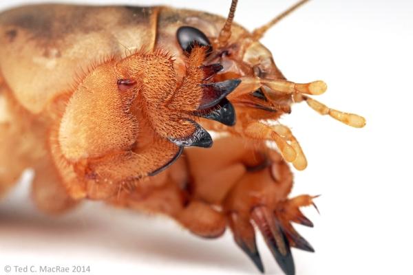 Scapteriscus borellii