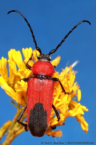 Crossidius coralinus jocosus (female) | Costilla Co., Colorado