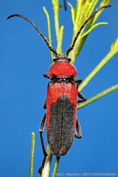 Crossidius coralinus coralinus