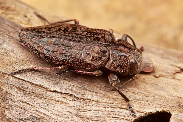 Chrysobothris orono was only one of several very cool buprestid species collected on this day...