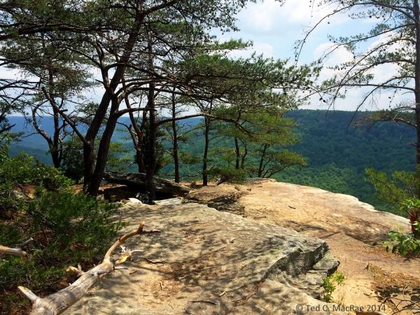 Virginia pine (Pinus viriginiana) on bluff tops | South Cumberland State Park
