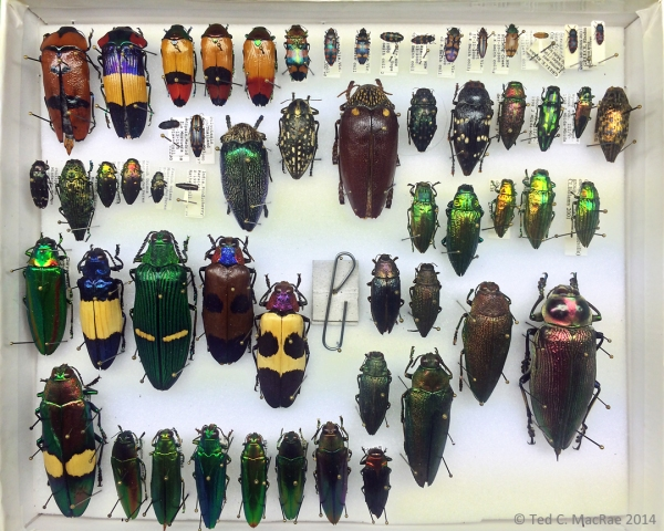 Miscellaneous Buprestidae from Dan Heffern