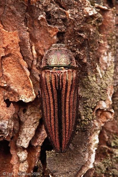 Buprestis (Cypriacis) striata  | South Cumberland State Park, Tennessee