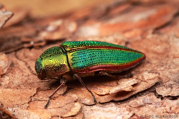 Buprestis (Stereosa) salisburyensis | South Cumberland State Park, Tennessee.