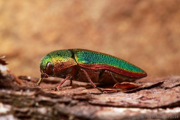 Buprestis (Stereosa) salisburyensis Herbst, 1801   South Cumberland State Park, Tennessee.