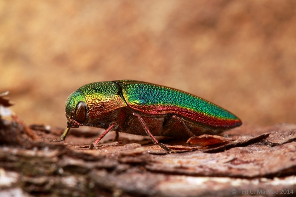 Buprestis (Stereosa) salisburyensis Herbst, 1801 | South Cumberland State Park, Tennessee.
