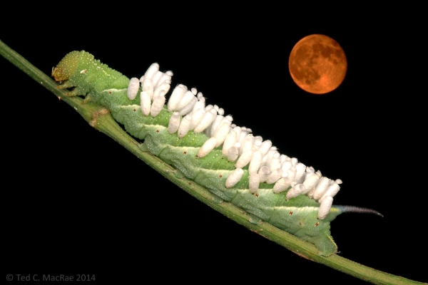 "A ""super moon"" watches over a parasitized hornworm caterpillar."