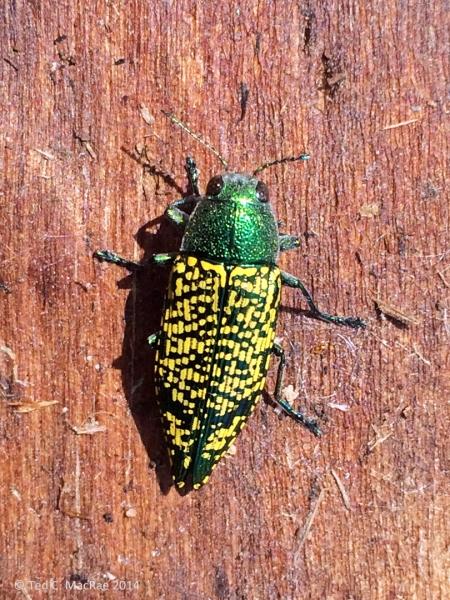 Buprestis (Knulliobuprestis) confluenta, on large, dead Populus deltoides trunk | Woods Col., Oklahoma| USA: Oklahoma
