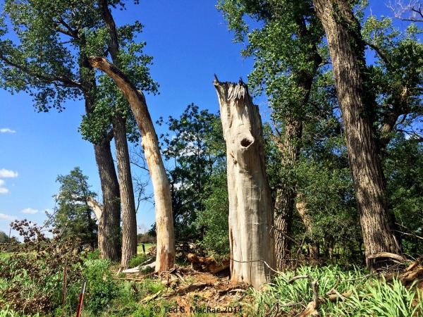 Buprestis spp. love large, dead, barkless cottonwood trunks.