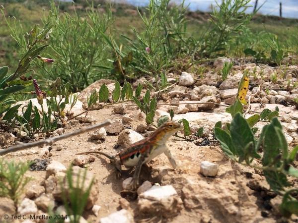 Holbrookia maculata (lesser earless lizard) | Union Co., New Mexico.
