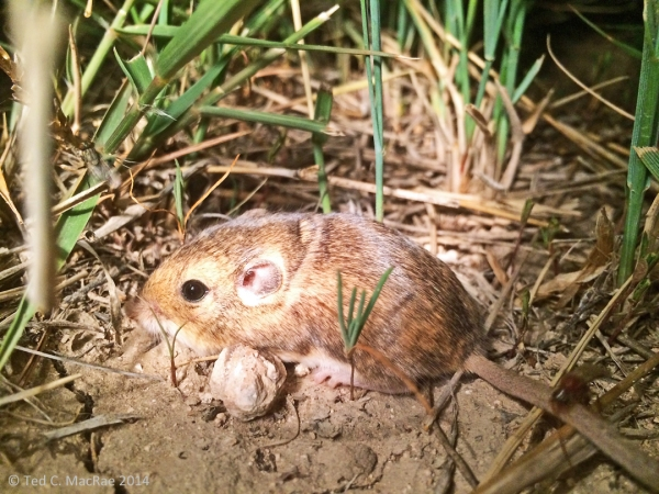 silky pocket mouse? Zapus sp., jumping mouse? | Union Co., New Mexico.
