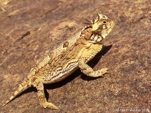 Phrynosoma cornutum (Texas horned lizard) | Harding Co., New Mexico.