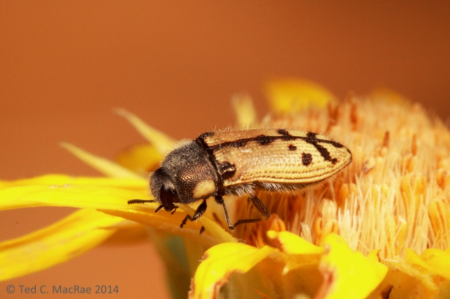 Acmaeodera immaculata? | vic. Vogel Canyon, Colorado.
