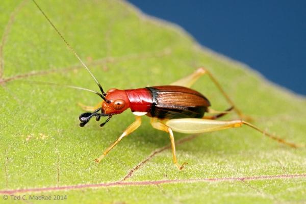Phyllopalpus pulchellus (red-headed bush cricket) | Hickman Co., Kentucky