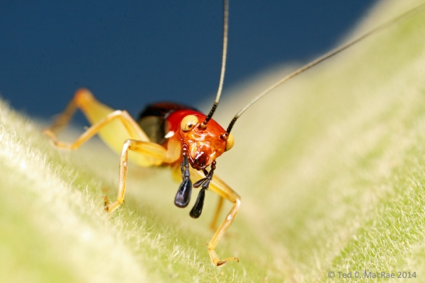The greatly expanded palps are thought to mimic beetle mandibles or spider pedipalps.