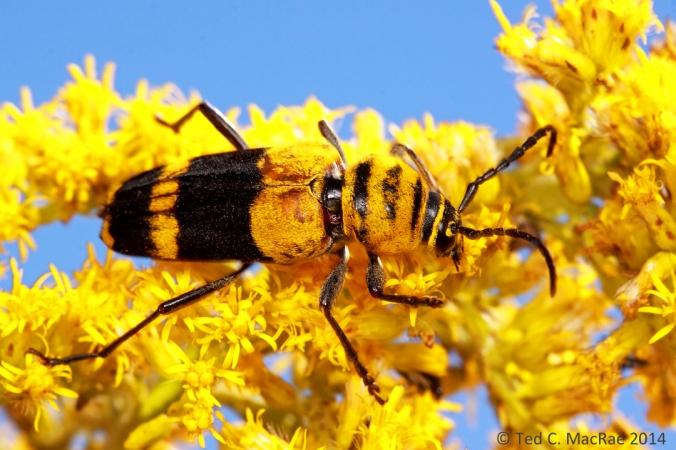 Megacyllene decora (amorpha borer) | Stoddard Co., Missouri