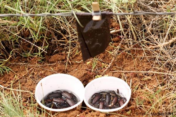 Prionic acid-bated traps w/ Prionus fissicornis males