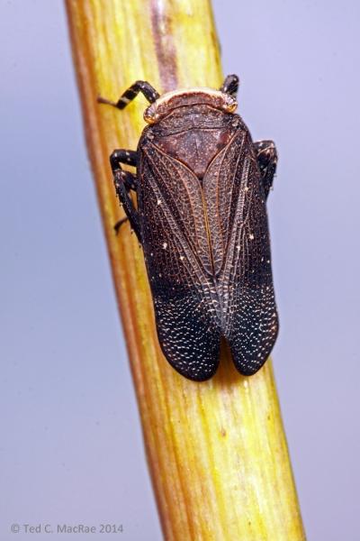 Poblicia fuliginosa on Silphium terebinthinaceum (prairie dock)  Barry Co., Missouri.