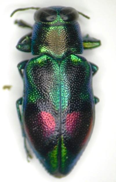 Chrysobothris n. sp. ex Jamaica