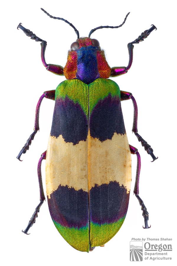 Chrysochroa (Chroodema) corbetti (Kerremans, 1893) | Thailand