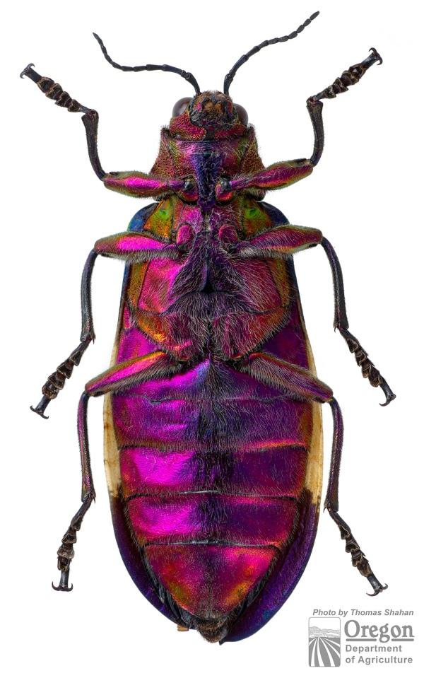 Chrysochroa corbetti ventral view