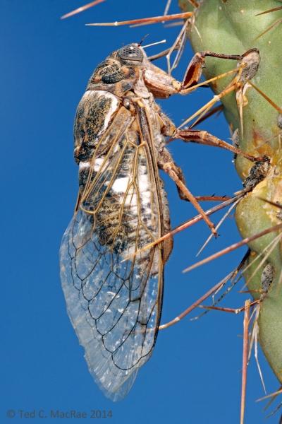 Cacama valvata female