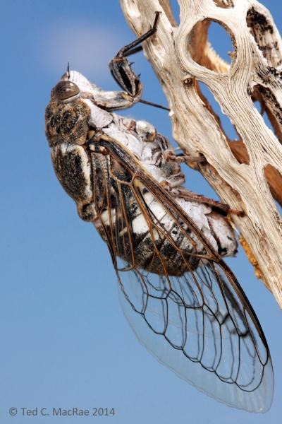 Cacama valvata female ovipositing