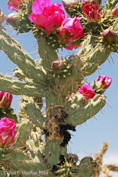 Hardened black masses of plant exudate indicate larval feeding within the stems.