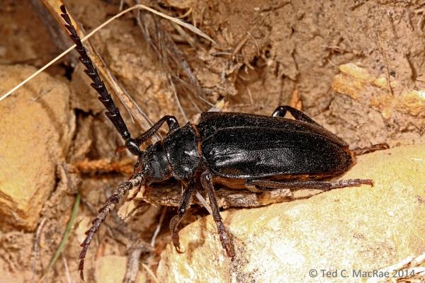 Prionus heroicus male